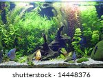 A beautiful planted tropical freshwater aquarium with bright blue and orange discus fish. - stock photo