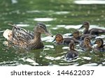 Mother Duck And Ducklings Floa...
