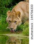 lion  panthera leo   | Shutterstock . vector #144706333