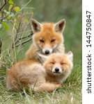Red Fox Cubs Cuddling