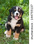 Stock photo bernese mountain dog puppy 144755137