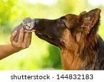 Stock photo german shepherd dog kissing little tabby kitten 144832183