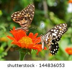 Two Butterflies On A Red Flower.