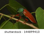 Small photo of Jewel beetle of family Buprestidae, possibly Sternocera nitens or S. Brahmina, climbing over a leaf. From Tamil Nadu, South India