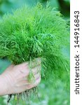 fresh dill is just plucked is... | Shutterstock . vector #144916843