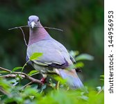 A Male Pink Necked Green Pigeo...