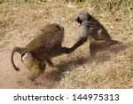 Two Male Olive Baboons  Papio...