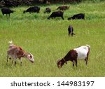 Herd Of Goats Grazing In The...