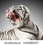 the white tiger growls. big... | Shutterstock . vector #145080637