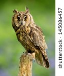 Long Eared Owl Perching