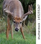 Trophy Buck Deer Eating Grass...