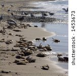 Small photo of seagulls feeding on dead crabs left by crab-fishers. Agger, western Jutland, Denmark