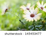 White African Moon Daisy  Oxey...