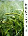 Sun Kissed Barley Bowed By The...