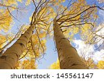 aspen trees with fall color ... | Shutterstock . vector #145561147