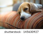 Young Beagle Sleep On Pillow.
