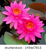 The Beautiful Pink Waterlily O...
