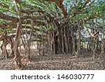 Very Big Banyan Tree In The...