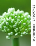 Small photo of Allium nigrum flower buds in summer. Macro image.