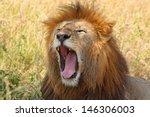 A Male Lion  Panthera Leo ...