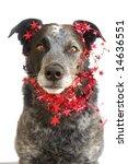 australian cattle dog wearing... | Shutterstock . vector #14636551