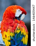 scarlet macaw  ara macao   | Shutterstock . vector #146405447
