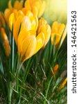 Yellow Crocus Spring Flowers
