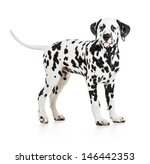 Standing Dalmatian Dog Isolate...