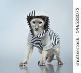 shorthair oriental cat ... | Shutterstock . vector #146533073
