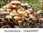 A Lot Of Honey Agarics On A...