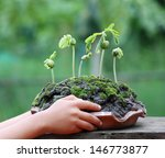 new life the sprout of tamarind ... | Shutterstock . vector #146773877