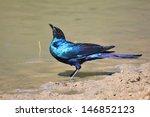 black eared starling   wild...   Shutterstock . vector #146852123