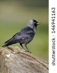Jackdaw  Corvus Monedula ...