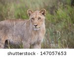 Lioness Looking On From The...
