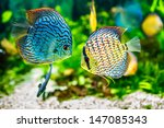 Symphysodon Discus In An...