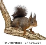 Red Squirrel Or Eurasian Red...