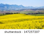 Rapeseed Fields Along The...