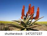 Aloe Ferox Plant With...