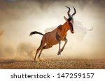 Red Hartebeest Running In Dust...