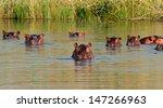 group of hippopotamus ... | Shutterstock . vector #147266963