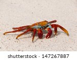 A Sally Lightfoot Crab Alert...