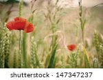 Poppy Flowers Close Up In A...