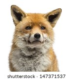 close up of a red fox  vulpes... | Shutterstock . vector #147371537