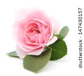 One Beautiful Pink Rose On A...