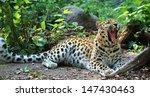 Amur Leopard Yawning