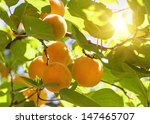 Apricot Tree With Fruits...