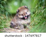 Stock photo small pomeranian puppy sitting in the green grass 147697817
