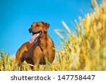 dog in the rye wheaten field   Shutterstock . vector #147758447