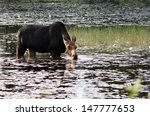 female moose has a drink as she ...