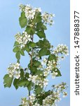 Blossom White Blackberry Branc...